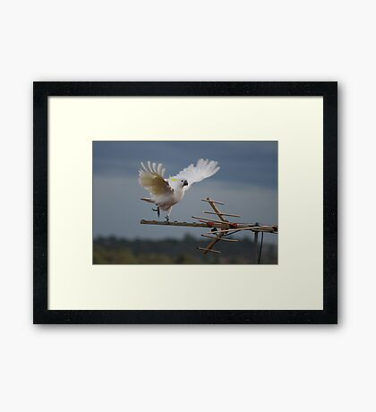 dancing cocky Framed Print