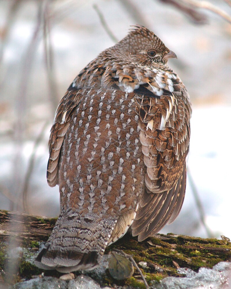 Ruffed Grouse 02 by DigitallyStill