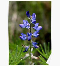 Wild Blue Lupin Poster