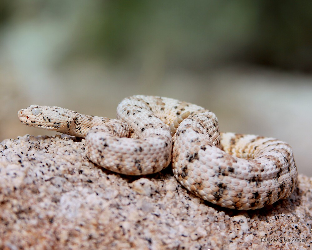 Another Dwarf White Speckled Rattlesnake by Myke Clarkson