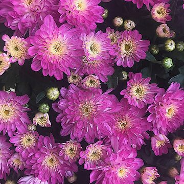 Pink Mums Garden by bloomingvine