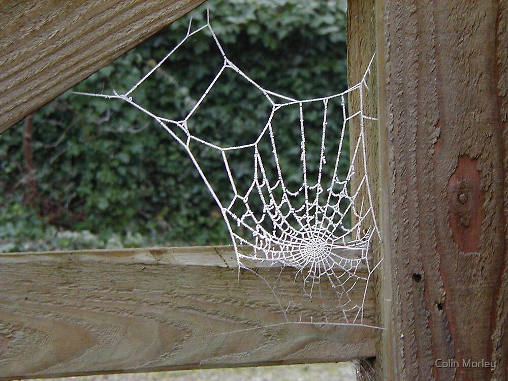 Spider's Web by Colin Morley