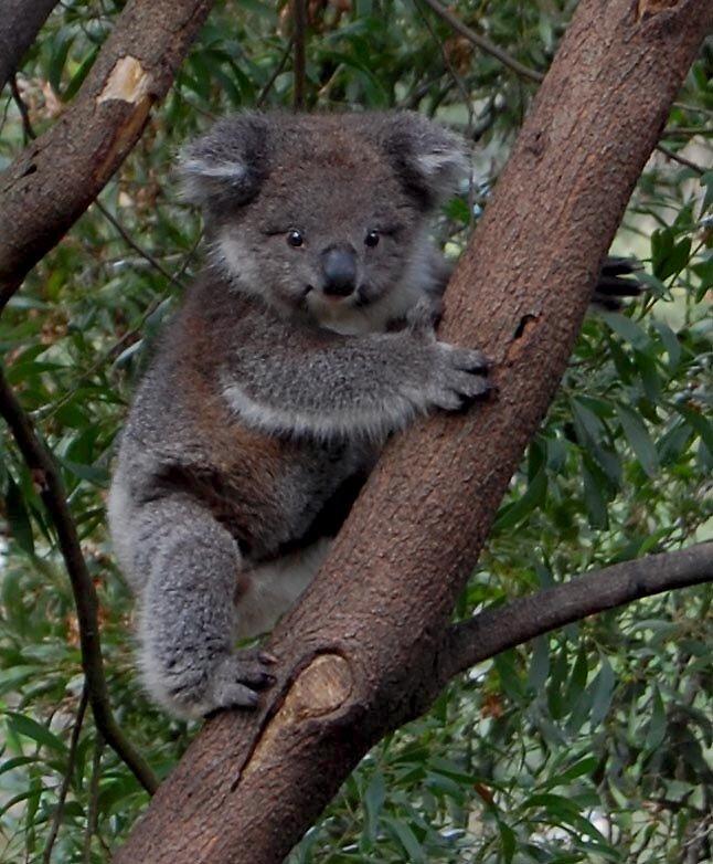 koala by jezza