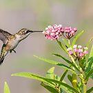 Hummingbird 2018-1 by Thomas Young