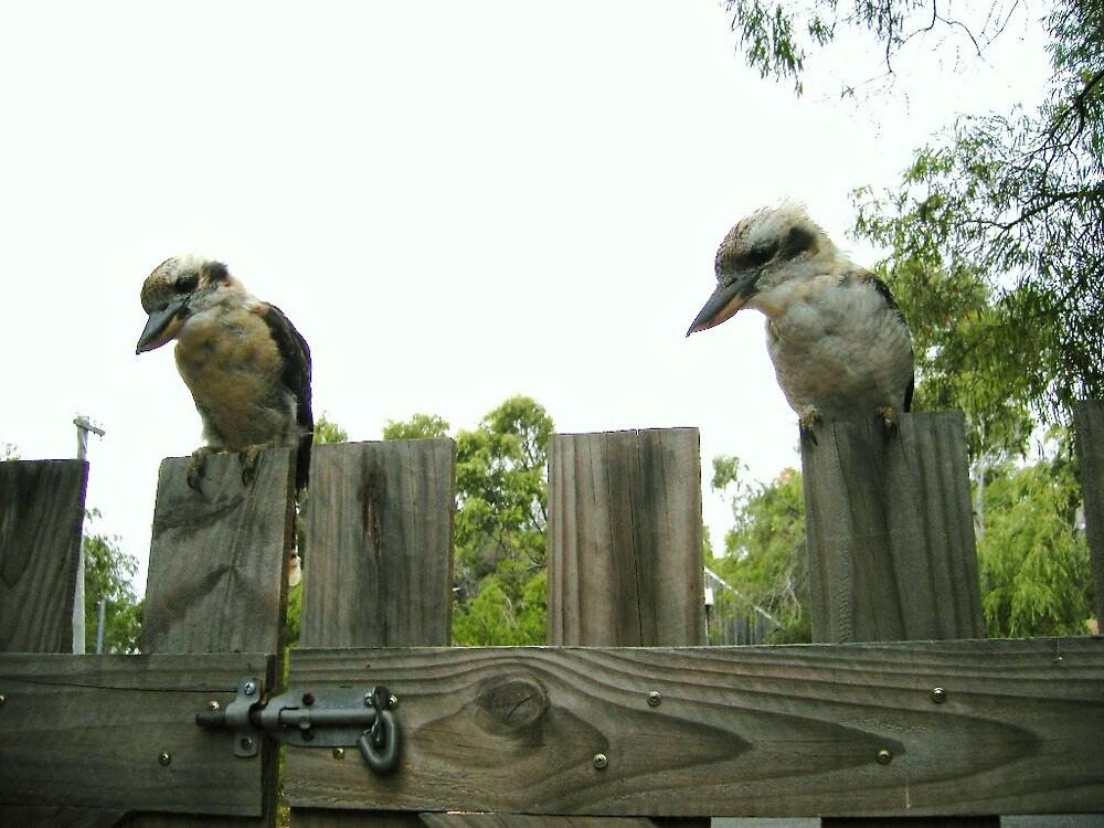 Kookaburras by HelenRoberts