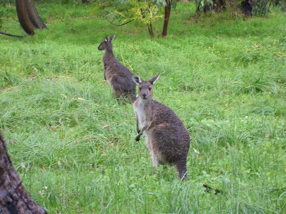 Kangaroo by HelenRoberts