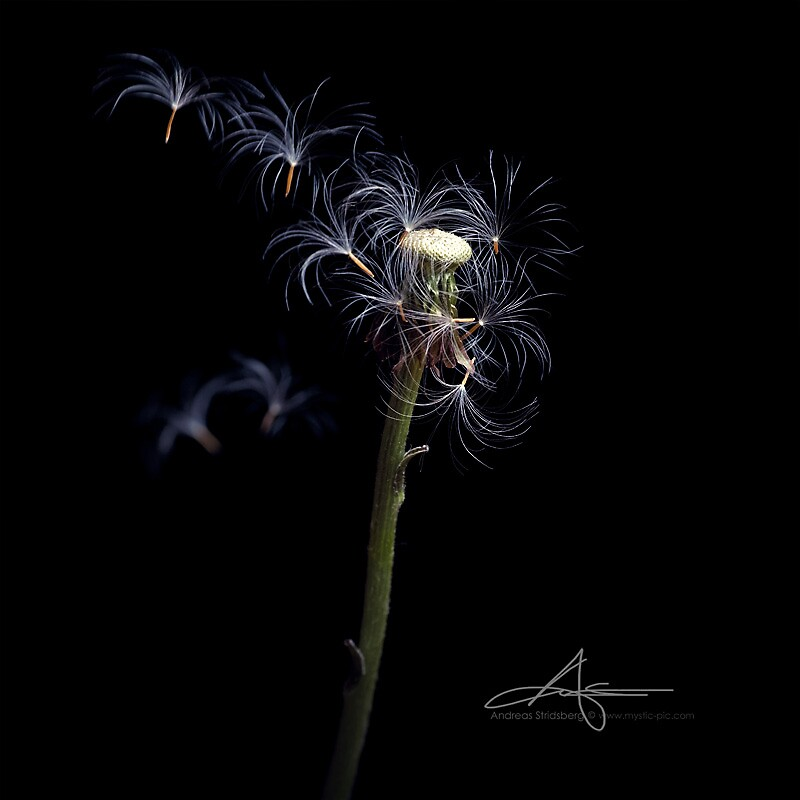 Death of a dandelion by Andreas Stridsberg