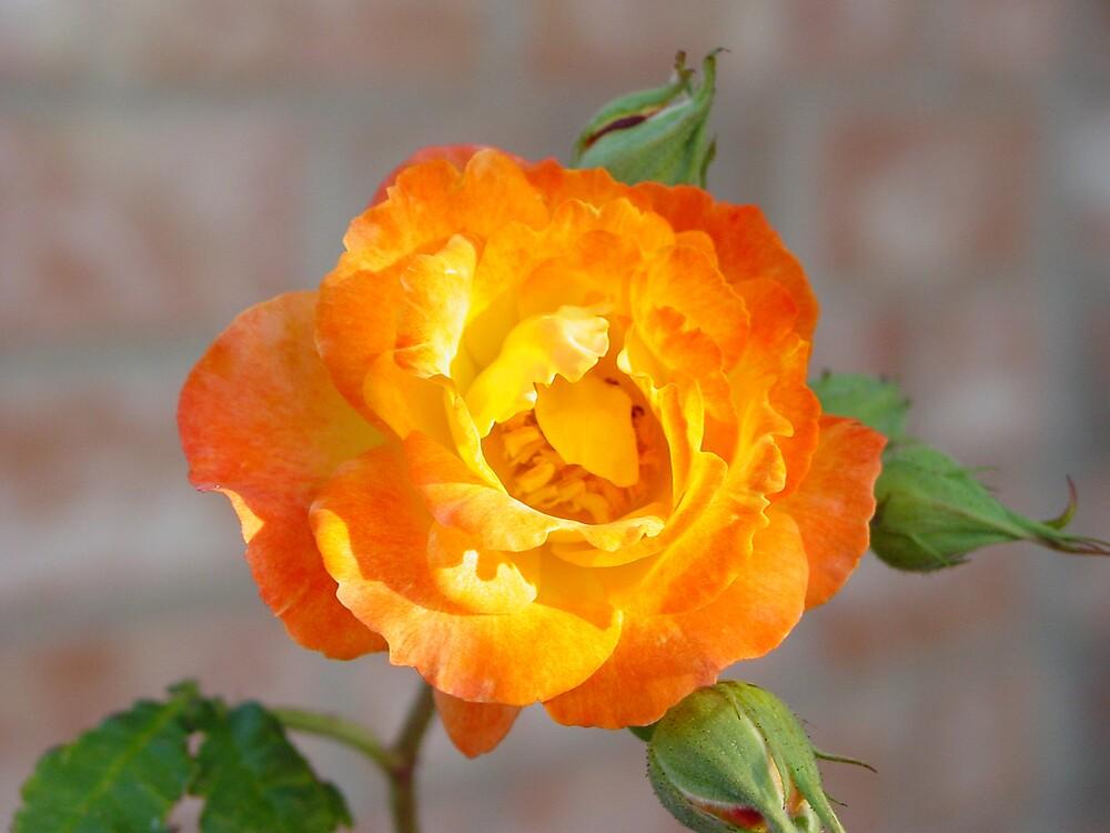A Rose On Fire by jeffrey freeman