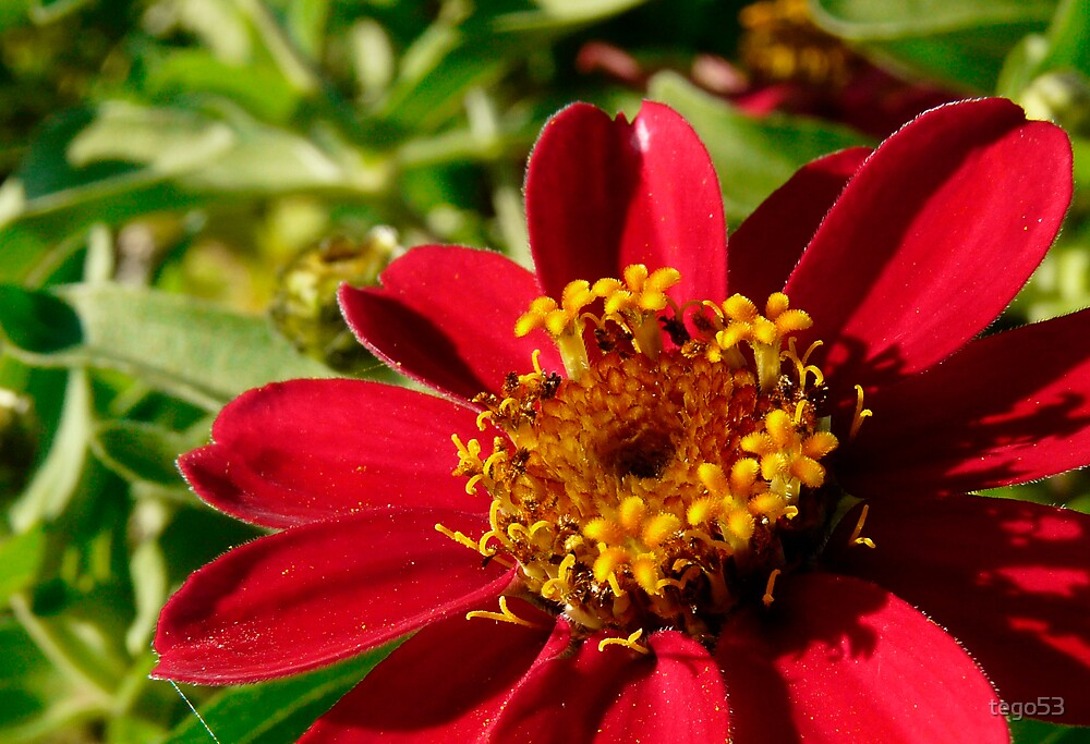 red zinnia by tego53