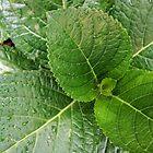 Hydrangea Leaves by Margaret Stevens
