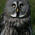 Portrait of a Lapland Owl by Anne-Marie Bokslag