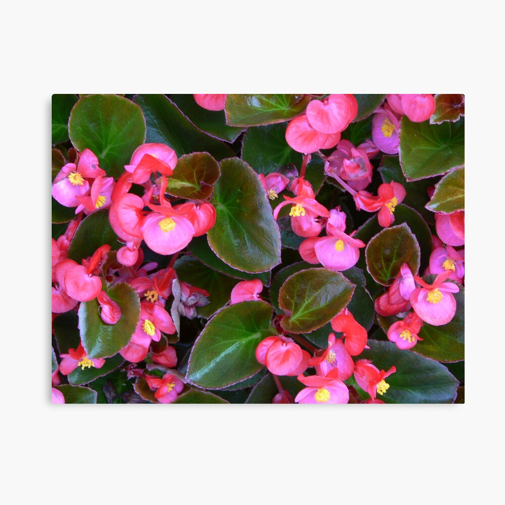 """"""" Pink Begonia's"""" Leinwanddruck"""