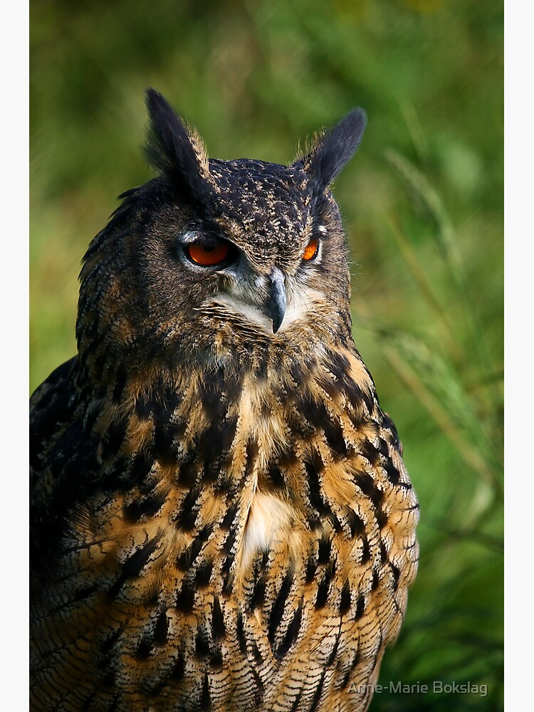 Portrait of a Eurasian Eagle Owl by amb1946