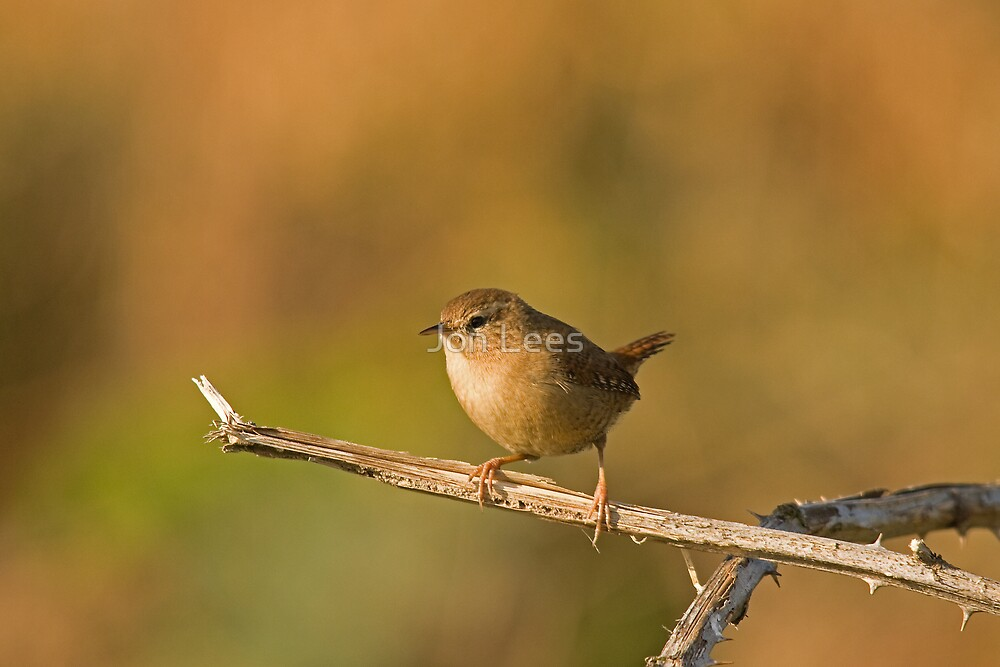 Autumnal Wren by Jon Lees