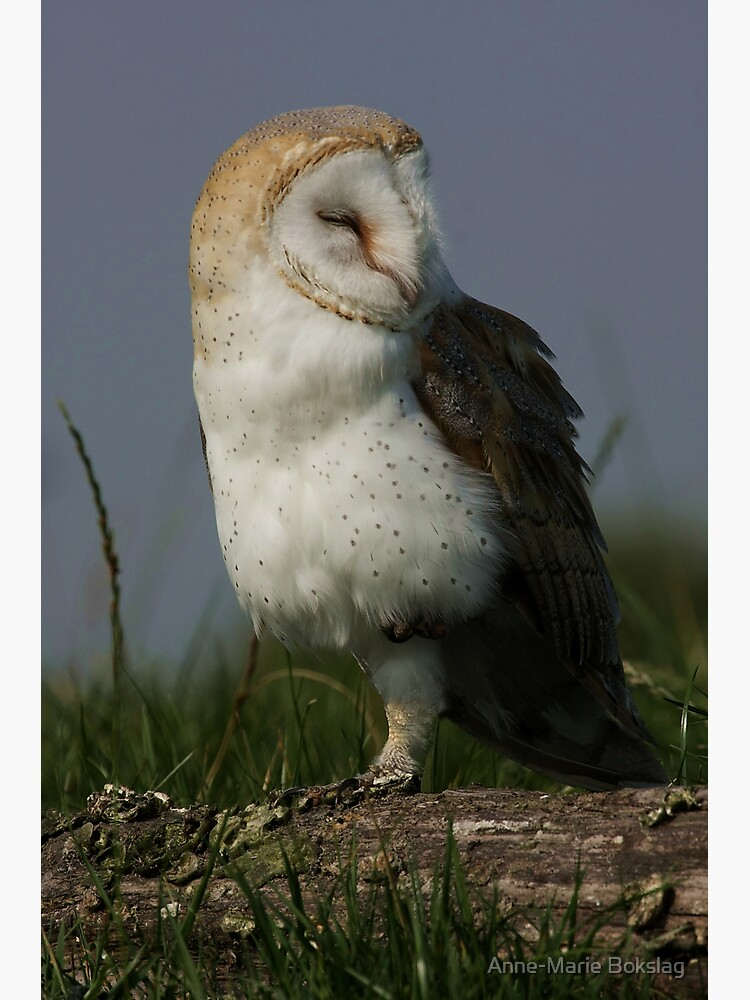 Portrait of a Barn Owl by amb1946