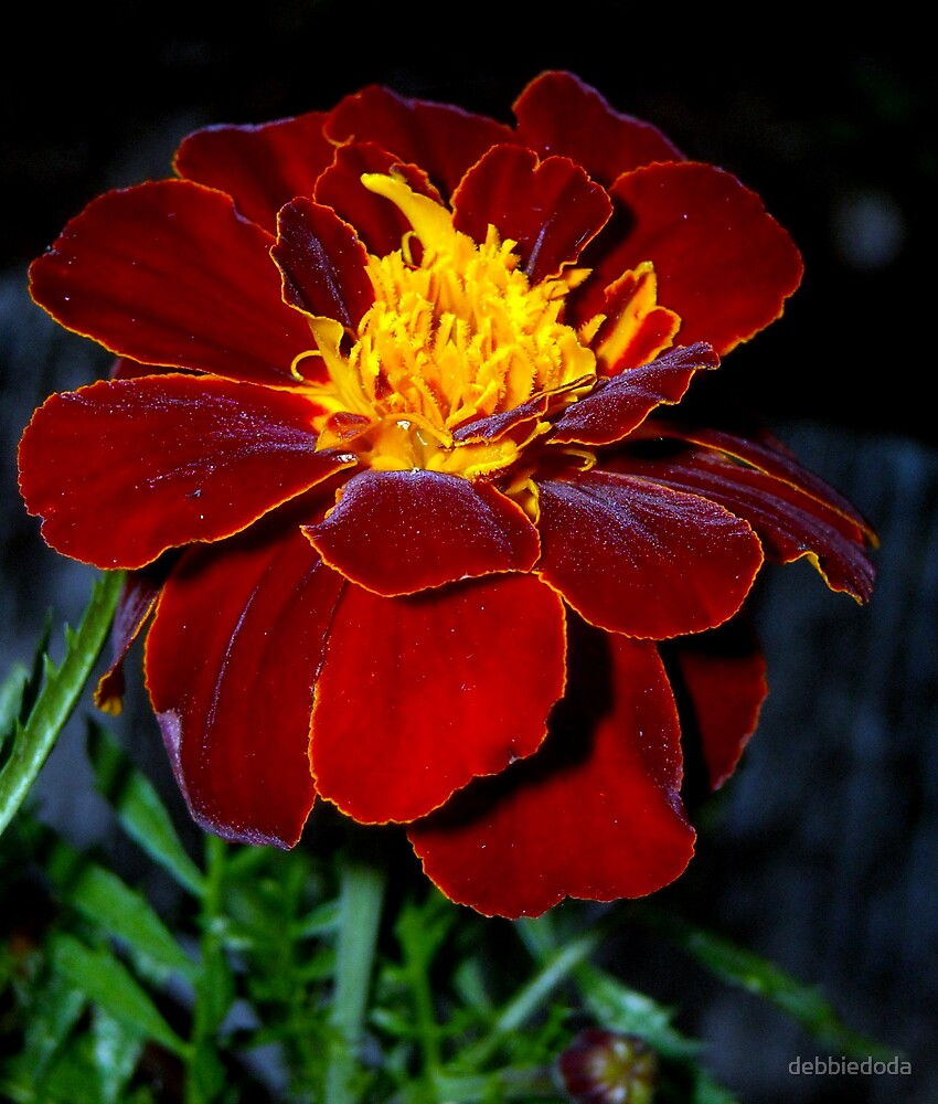 Marigold by debbiedoda