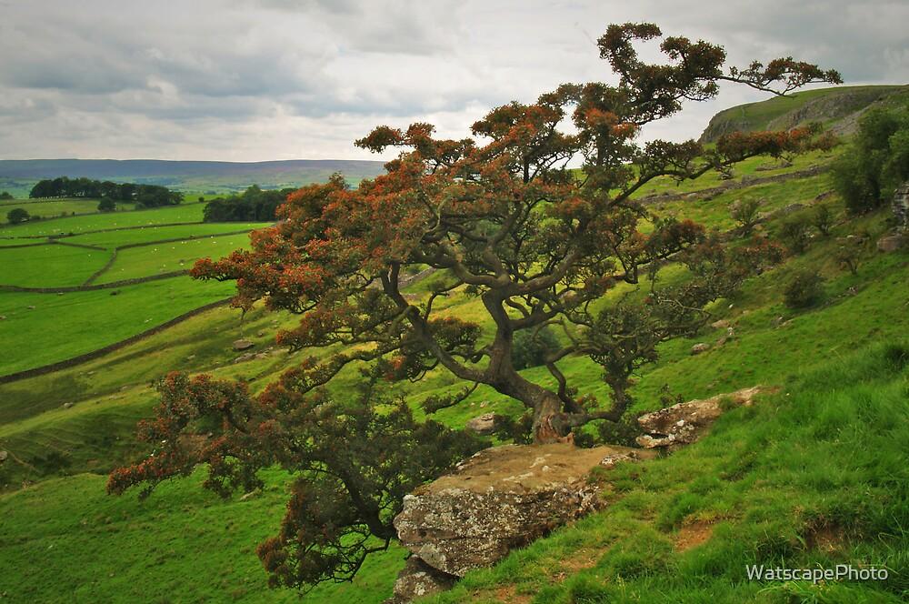 Norber Hawthorn by WatscapePhoto