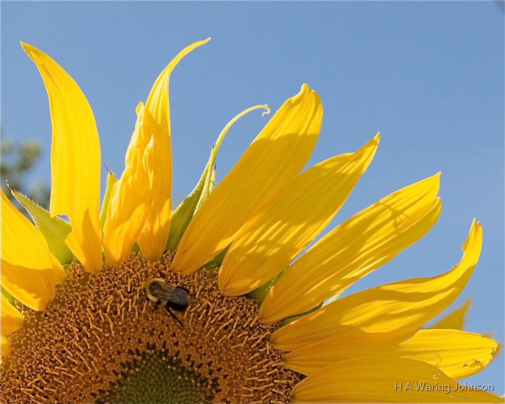 Bee on Sunflower by H A Waring Johnson