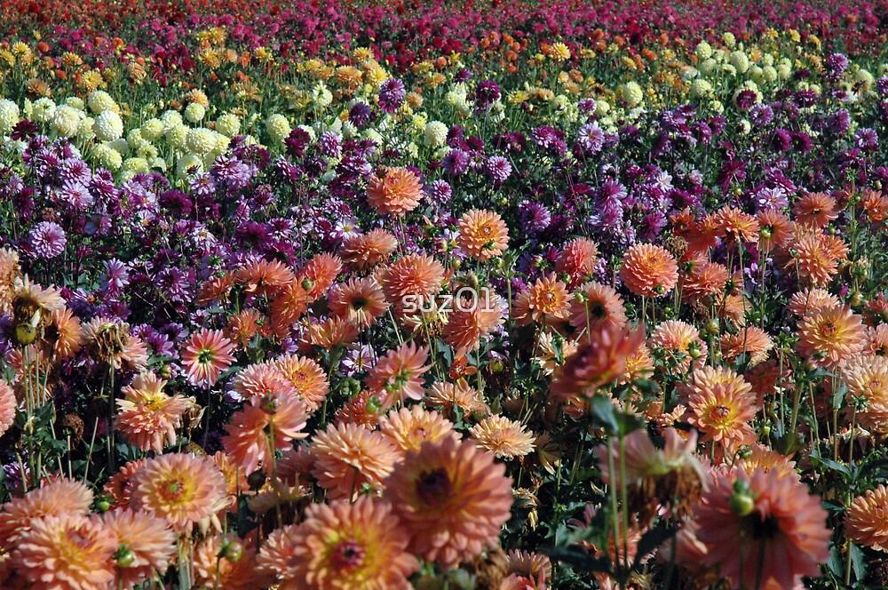 Field of Dahlia's by suz01