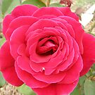 Oh velvet Rose I know not your name? by Rita Blom