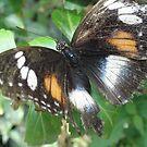 Butterfly..Macro 1 by judygal