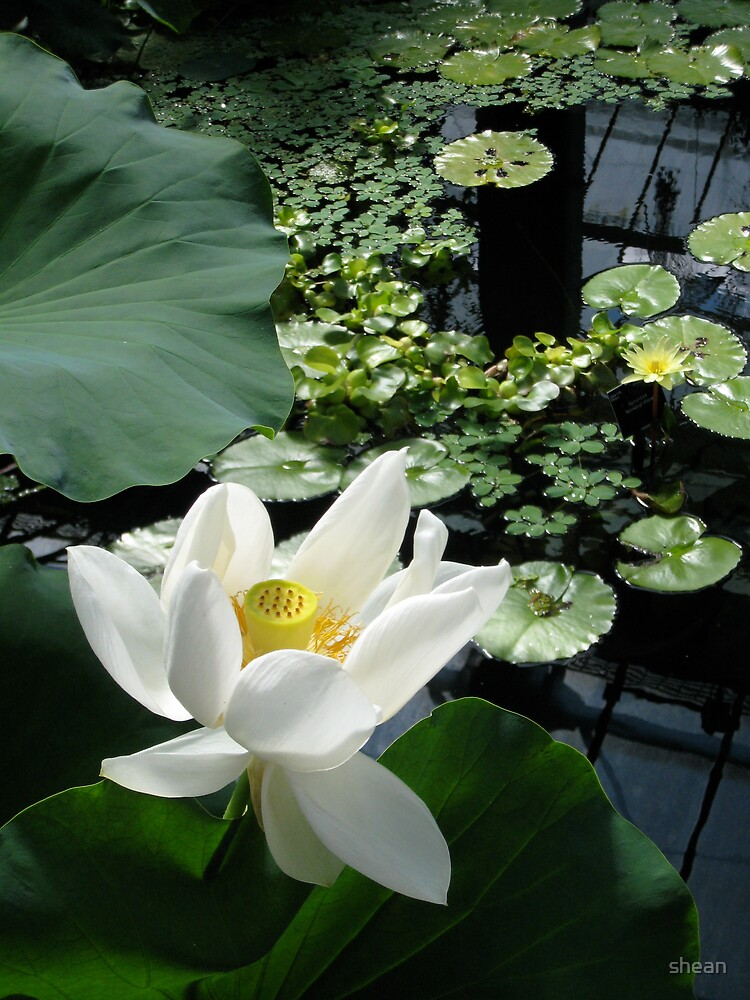 the sacred lotus by shean