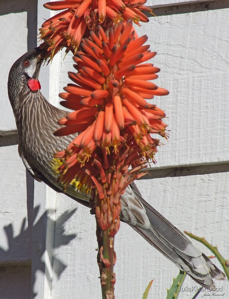 Red Wattlebird by JuliaKHarwood