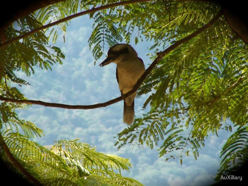 Kookaburra by AuXillary