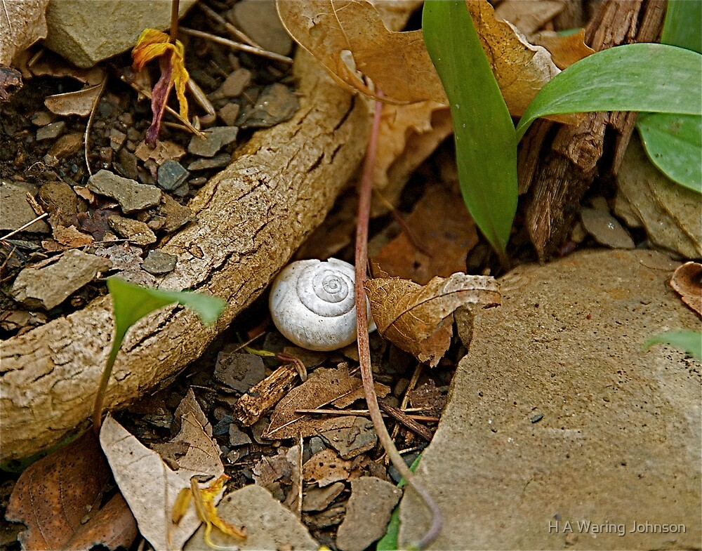 Snail Shell in the Woods by H A Waring Johnson