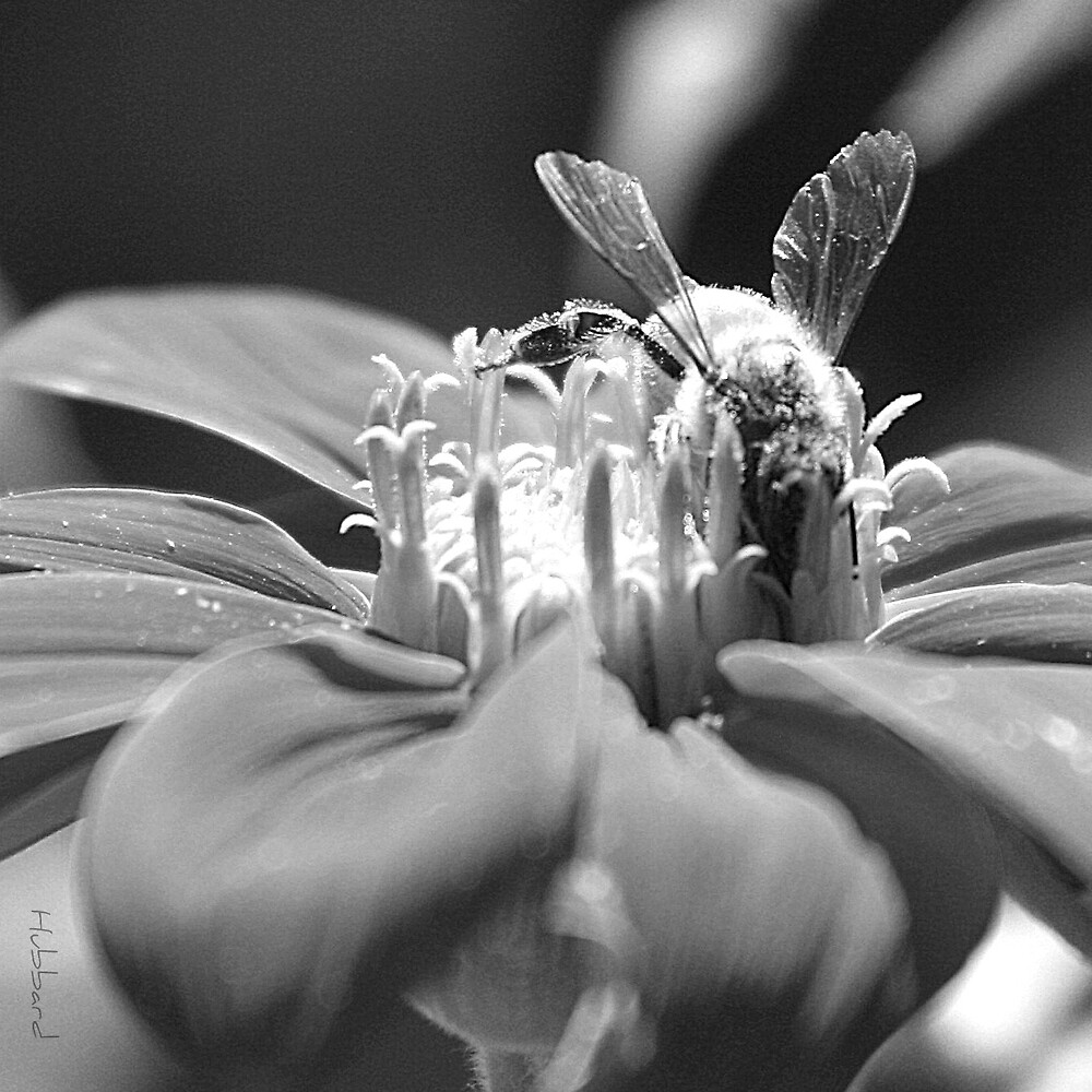 Black and White Bee by MotherHubbard3
