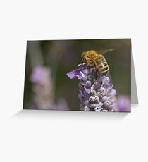 A bee hard at work on the lavender  Greeting Card