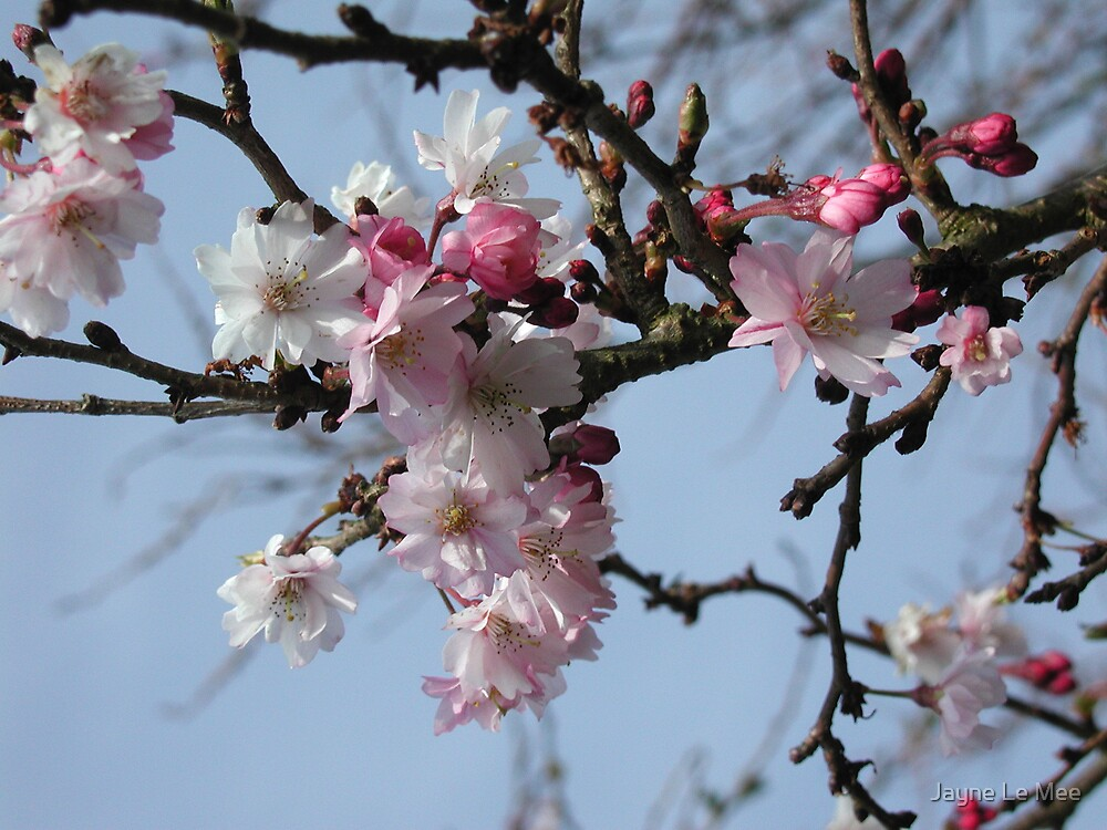 Cherry Blossom by Jayne Le Mee