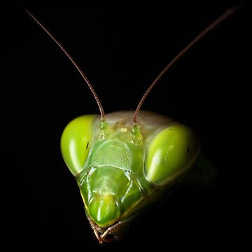 Portrait of praying mantis by igorsin