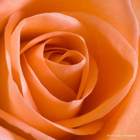 Peach Rose by David's Photoshop