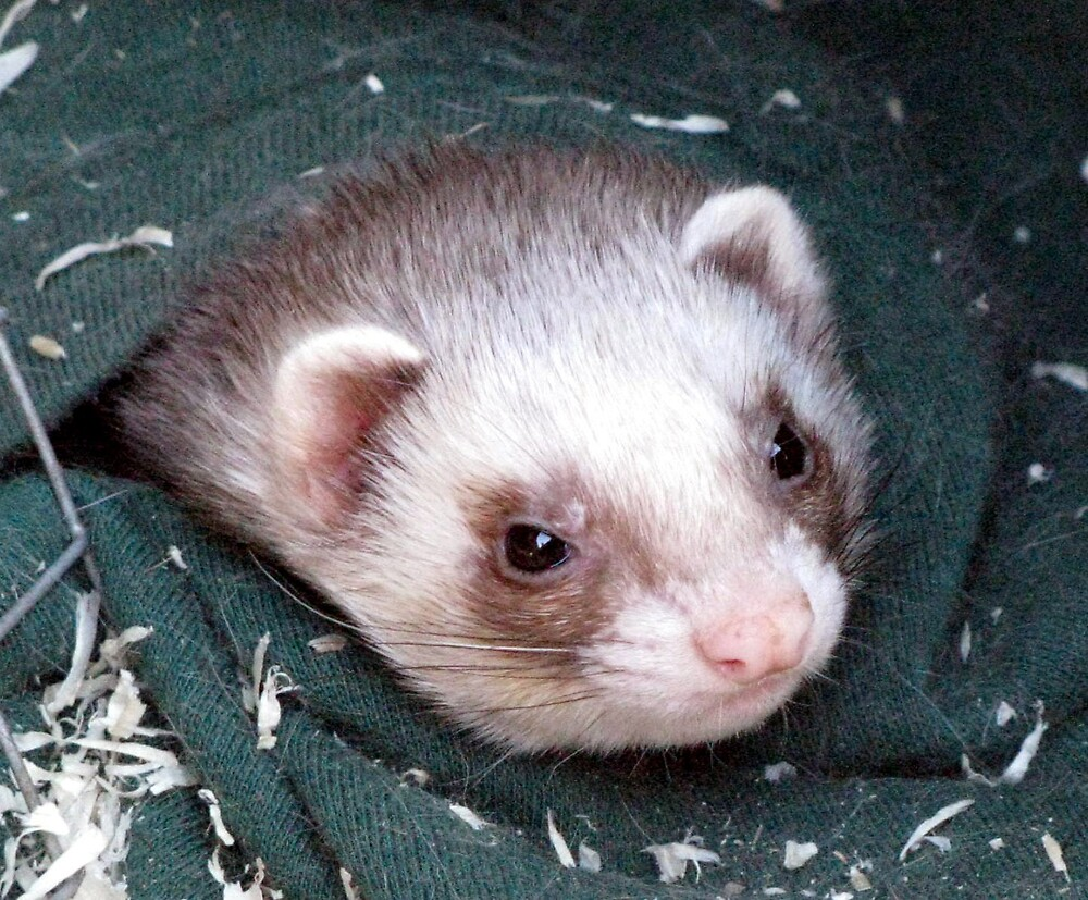 Ferret Face by Caroline Anderson
