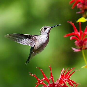 Beautiful Hummingbird by rollosphotos