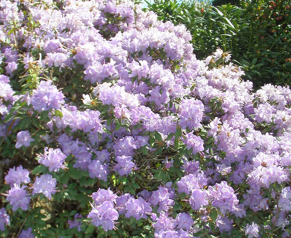 Blue Rhododendrons by Alex Gardiner