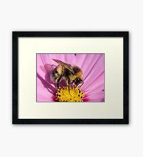 Bumble bee - Bombus lucorum Framed Print