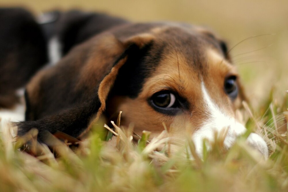 Beagle  by mrichardson19