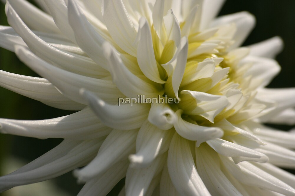 White Dahlia One by Pamela Jayne Smith