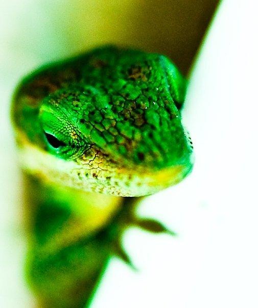 {lizard} by ashleyrouss