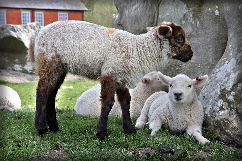 Baby Sheep by cas slater
