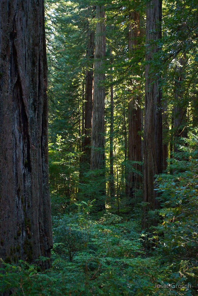 Redwood Forest #2 by Josef Grosch