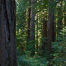 Redwood Forest #2 by Josef Grosch