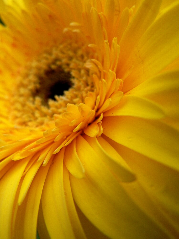 Yellow Gerbera by Framed-Photos