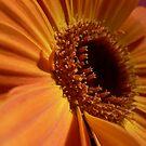 Orange Gerbera 2 by Framed-Photos