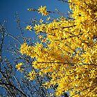 Sunlit Golden Forsythia by SunriseRose
