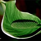 "THE POLLINATED ""PEACE LILY' IN GREEN by Magriet Meintjes"