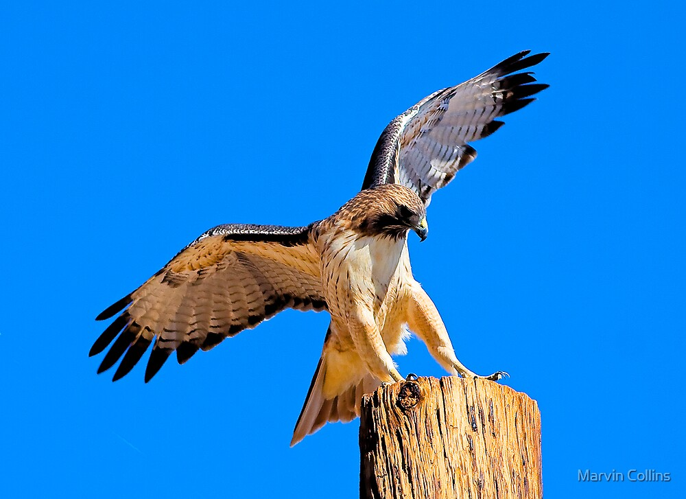 1004095 Red Tailed Hawk by Marvin Collins