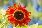 Sunflower 2 by John Velocci